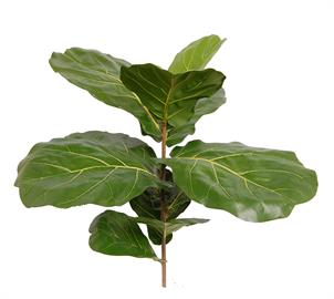 Brazilian Fiddle-Leaf Fig Branch comes in 3 sizes. 7, 11, & 21 leaves